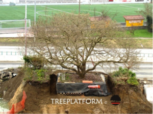 transplantation of magnolia_doctorarbol.com 6