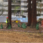 transplantation of sequoias_doctorarbol.com 2