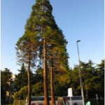 sequoias_doctorarbol.com transplantation
